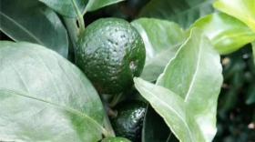 柑橘常补钙,为什么还缺钙?你补对了么?