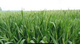 冬小麦高产有诀窍,春季管理很重要,这5大增产技术值得农民借鉴(卡希诺智能肥)