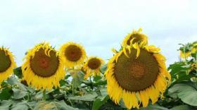 怎样提高葵花结实率(卡希诺智能肥)