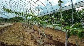 温室大棚樱桃如何栽种?(卡希诺智能肥)