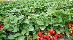 大棚草莓咋管理,这5招做好了钱就来了。(卡希诺)