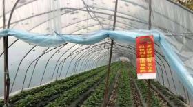草莓高产重在管理!使草莓生长旺、早结果、品质优