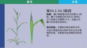 小麦的一生(发育图)_卡希诺智能肥