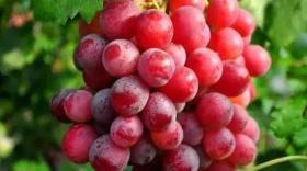 """秋季葡萄采收后两件大事要做到:施基肥""""贴秋膘""""、修枝养树(卡希诺)"""