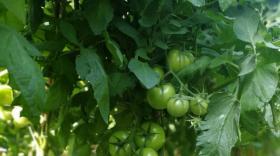 卡希诺西红柿篇——这样施肥经济又合理,产量有保障(卡希诺智能肥)
